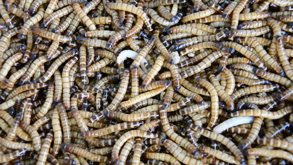 Mealworms are the larval form of the mealworm beetle. HD
