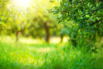 Apple garden green sunny background. Summer and autumn season.