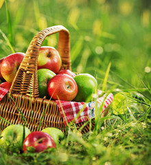 Rich organic apples in a basket outdoors. Autumn harvest