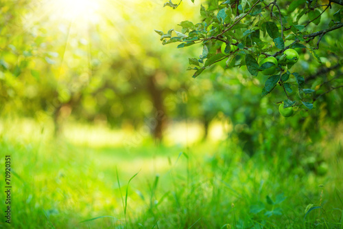 Apple garden green sunny background. Summer and autumn season.
