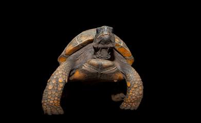 Yellow Footed Amazon Tortoise