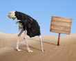 canvas print picture - scared ostrich burying head in sand near blank wooden signboard