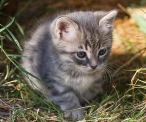 kitten grey closeup