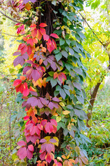 Viginia Creeper in Autumn
