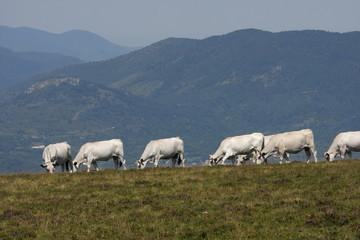 Vaches gasconnes,Pyrénées