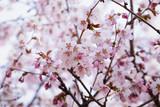 japan sakura cherry blossom - 70926335