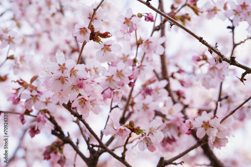 Plexiglas Kersen japan sakura cherry blossom