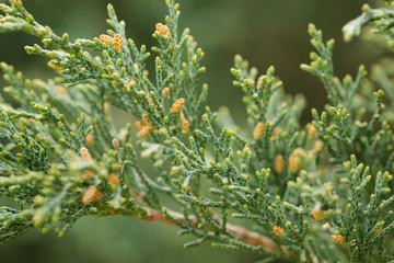 western juniper twigs