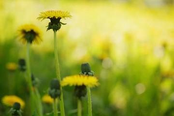 yellow summer dandelion flowers