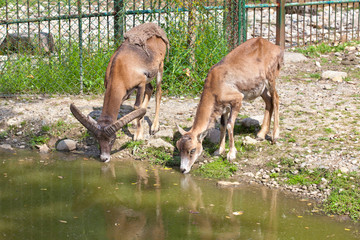two wild goats drink water