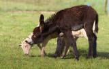 l'ânon et la brebis