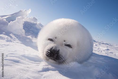 アザラシの赤ちゃん(Seal Pups)