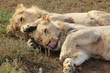 Two playful young lion brothers cuddling on the ground