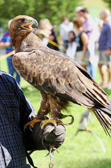 Falconer trainer with Eagle with a beak and bright eyes