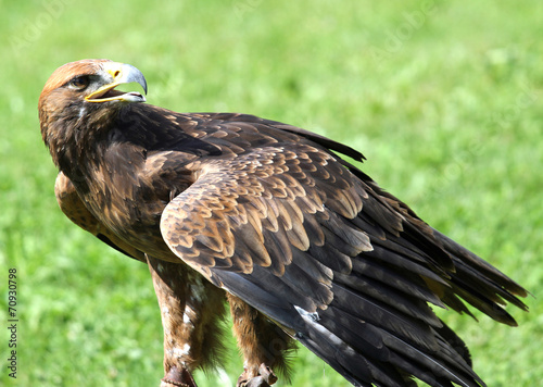 In de dag Eagle Great Eagle on meadow in the mountains ready to fly