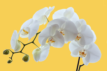 White orchid on yellow background