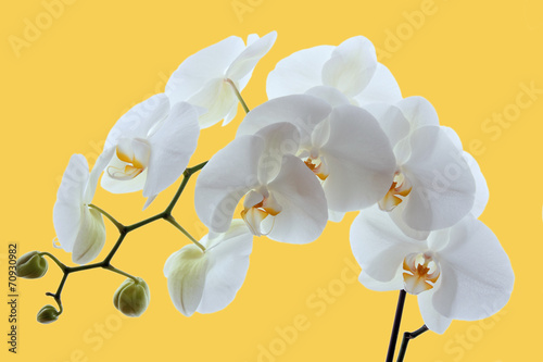 Plexiglas Orchidee White orchid on yellow background