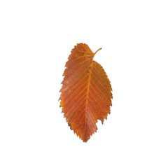 Autumn leaf over white