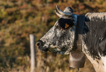 profil de vache