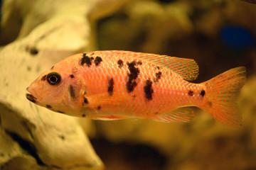 оранжевая рыба 3