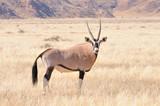 Oryx in grass landscape