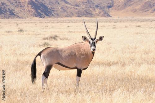 Fotobehang Antilope Oryx in grass landscape