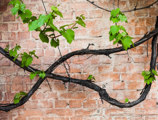 Brick wall with vine and green leaves of the grape