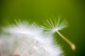 Closeup of the seeds of the dandelion flower