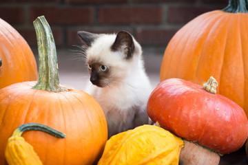 Siamese Kitten with Autumn Produce