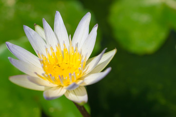 White flower of a lotus in a pond close up