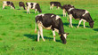 Grazing On a meadow Cows