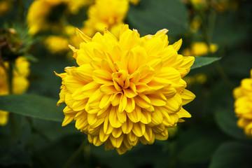 Thinleaf sunflower (Helianthus decapetalus)