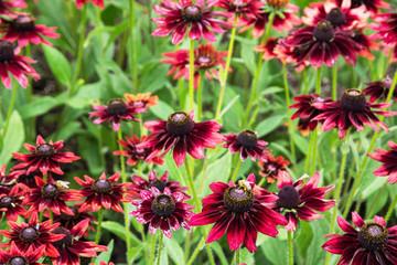 Rudbeckia flowers (Rudbeckia hirta)
