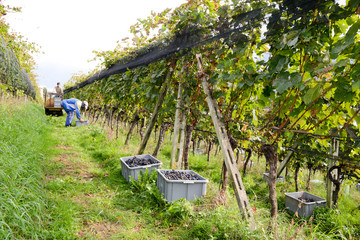 People harvesting grape on a vineyard at Porza near Lugano on Sw