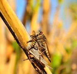 Hunting scene of great robber fly on small wasp