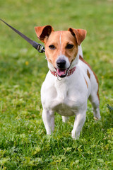 Jack Russell dog in park