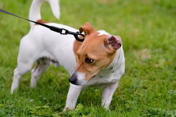 Jack Russell dog pulling on lead