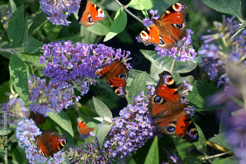 Buddleja Lochinch and butterfly - 70940931