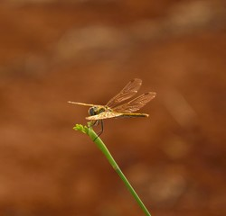 Small dragonfly with its bright wings on green stalk