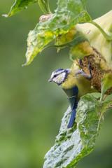 Blaumeise an Sonnenblume