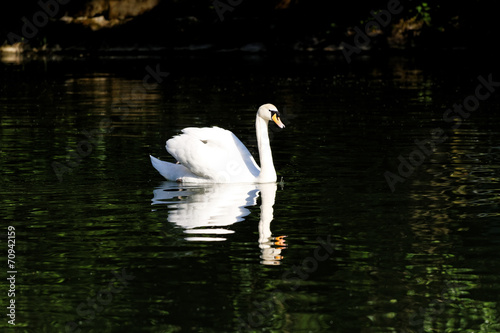 Fotobehang Beautiful swan