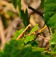 Mantis religiosa among green leaves