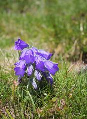 Alpine bell flower
