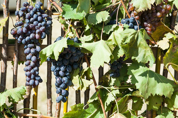 Bunch of red grapes with leaves hanging on fence