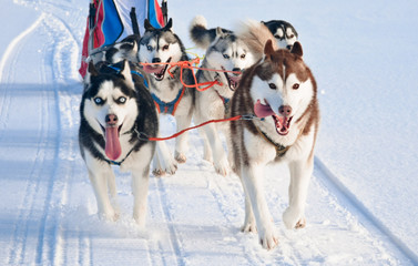 Husky dog team is running at sled dog race on snow