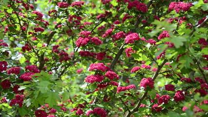 Tilt up of beautiful hawthorn (Crataegus laevigata) tree blooms