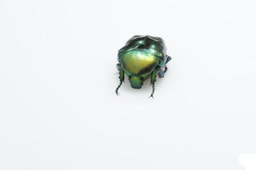 scarabeo verde