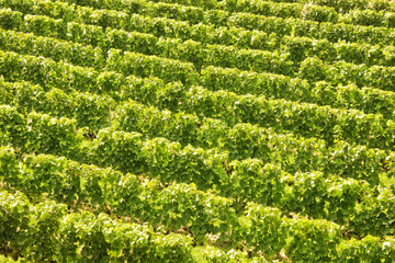 Background of vine stocks in a vineyard