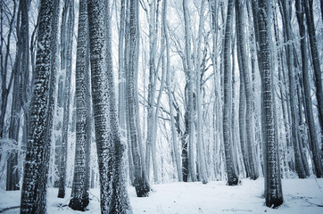frozen trees in a cold forest in winter