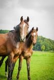 Zwei Pferde auf der Weide, Hochformat